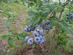 ブルーベリー木